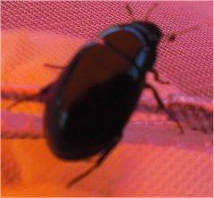 Fluginsekten - käfer- und wanzenfotos
